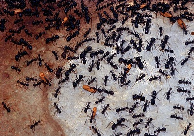 Ants Exterminate