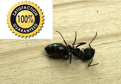 Ant kill