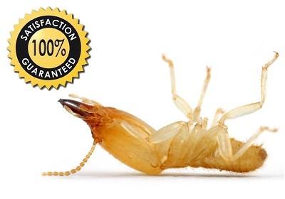 Dead Termite